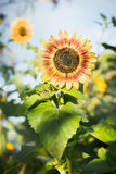 Red sunflower over summer garden or sunflowers field Royalty Free Stock Photo