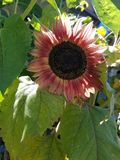 Red sunflower. Tall leafy sunflower close green plant Stock Photography