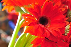 Red Sunflower Stock Photo