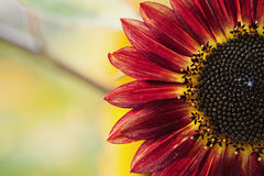 Red Sunflower with Yellow Highlights. Creative composition of a bold Red Sunflower wth yellow highlights Stock Photo