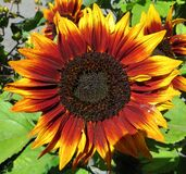 red sunflowers 2 Royalty Free Stock Photography