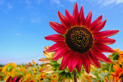 Red Sunflowers field with Blue sky. Stock Image