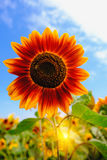 Red Sunflowers field with Blue sky. Stock Photos