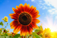 Red Sunflowers field with Blue sky. Stock Images
