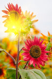 Red Sunflowers field with Sun rise flare effect. Stock Photos