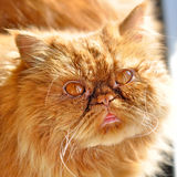 Red sunny persian cat Royalty Free Stock Images