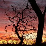 Red sunrise. Naked tree silhouette in a reddish sunrise stock images