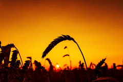 Red sunset and harvest sun against Royalty Free Stock Photo