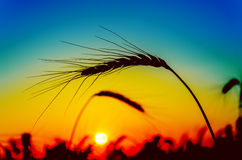Red sunset over harvest Royalty Free Stock Photos