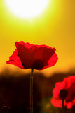 Red Sunset Poppy Flower Royalty Free Stock Photography