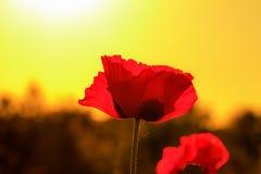 Red Sunset Poppy Flower Stock Photos