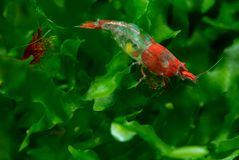 Red sushi dwarf shrimp with pregnancy stay on green aquatic plant in fresh water aquarium tank. With green and dark background stock photography