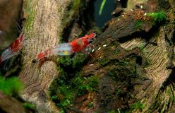 Red sushi dwarf shrimp stay on timber decoration royalty free stock photography