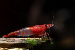 Red sushi dwarf shrimp stay on timber in fresh water aquarium tank royalty free stock photo