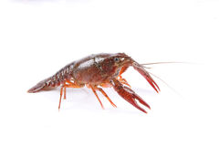 Red swamp crawfish Royalty Free Stock Photography