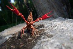 Red swamp crawfish Royalty Free Stock Photo