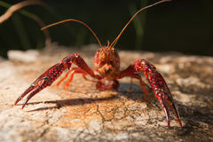 Red swamp crawfish Royalty Free Stock Photography