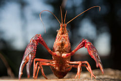 Red swamp crawfish Stock Images