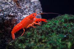 Red swamp crawfish Procambarus clarkii. Royalty Free Stock Photography