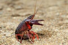 Red swamp crawfish Stock Photo