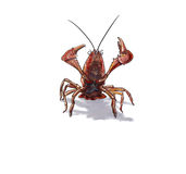 Red swamp crawfish Stock Photography