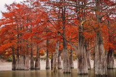 Red swamp cypresses, autumn landscape with lake. In Sukko, Anapa, Russia Stock Photography