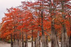 Red swamp cypresses, autumn landscape with lake. In Sukko, Anapa, Russia Stock Image