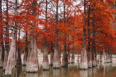 Red swamp cypresses, autumn landscape with lake. In Sukko, Anapa, Russia Royalty Free Stock Images
