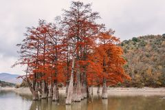 Red swamp cypresses, autumn landscape with lake. In Sukko, Anapa, Russia Stock Photo