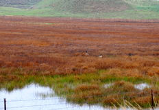Red swamp land. Two geese in the middle of a red-grassy swamp land. Water, and greener grass, up-close Stock Photos