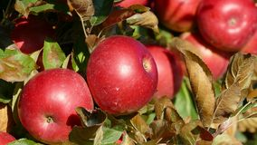 Red sweet apples on branch stock video footage