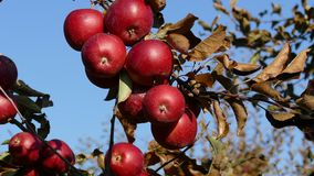 Red sweet apples on branch stock footage