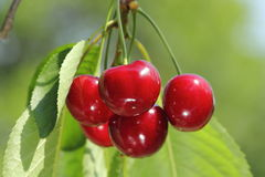 Red and sweet cherries Royalty Free Stock Photography
