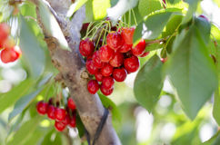 Red sweet cherries on the branch Stock Photo