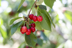 Red sweet cherries on the branch Royalty Free Stock Photos