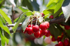 Red sweet cherries on the branch Royalty Free Stock Photo