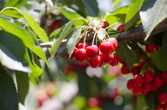 Red sweet cherries on the branch Royalty Free Stock Image