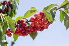 Red sweet cherries on the branch Royalty Free Stock Images