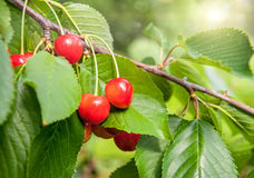 Red and sweet cherries on a branch Stock Photography