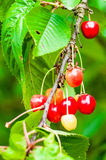 Red and sweet cherries on a branch Royalty Free Stock Images