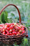 Red sweet cherries Royalty Free Stock Image