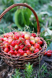 Red sweet cherries Royalty Free Stock Images