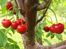 Red Sweet Cherries Ripe for Picking in Pennsylvania. Macro photo of a cluster of red sweet cherries hanging in tree in summer, and ready for picking. Cherry Stock Photos