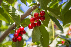 Red Sweet Cherries Royalty Free Stock Image
