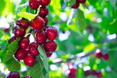 Red and sweet cherry stock image
