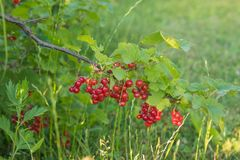Red sweet current in summer garden on green bush stock photography