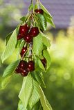 Red and sweet fresh cherries Royalty Free Stock Photography