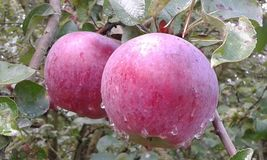 Red apples. Red sweet and juicy apples natural organic royalty free stock photo