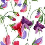 Red sweet pea flower. Watercolor illustration set on white background. Seamless pattern. Fabric wallpaper print texture. Red sweet pea. Floral botanical flower royalty free illustration