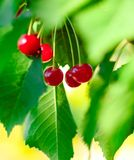 Red and Sweet Ripe Cherries on a Branch with Leaves in Summer Stock Images